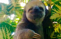 Bicho preguiça visto na Reserva Tapajós-Arapiuns (Pará) - Foto Ribamar Xavier